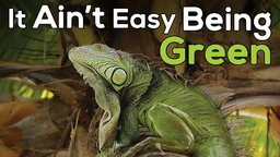 It Ain't Easy Being Green - Iguana Population Growth in the Caribbean
